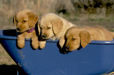 Golden Retriever Puppies Photograph - Golden Retriever by William H. Mullins