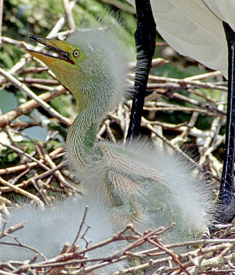 Photograph - Great Egrets by Millard H. Sharp
