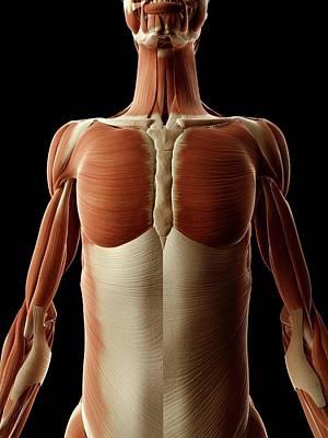 Human Chest Muscles Art Print