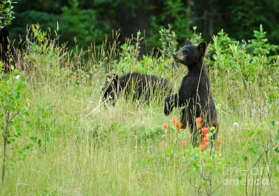Photograph - 210p Black Bear Cub by NightVisions