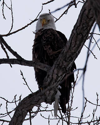 Photograph - Bald Eagle by Ronald Grogan