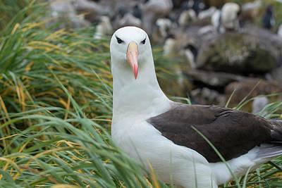 Albatross Wall Art - Photograph - Falkland Islands by Inger Hogstrom