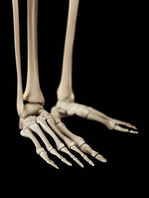 Human Foot Bones Art Print by Sebastian Kaulitzki