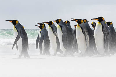 King Penguin (aptenodytes Patagonicus Art Print by Martin Zwick