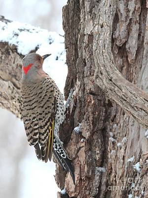 Photograph - Northern Flicker by Jack R Brock