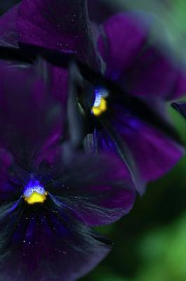 Pansy (viola X Wittrockiana) Art Print by Maria Mosolova/science Photo Library