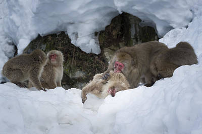 Photograph - Snow Monkeys Japan by John Shaw