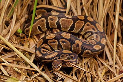 Ball Python Photograph - Usa, North Carolina by Jaynes Gallery