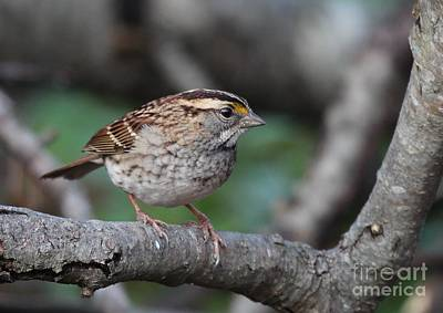 Photograph - White-throated Sparrow by Jack R Brock