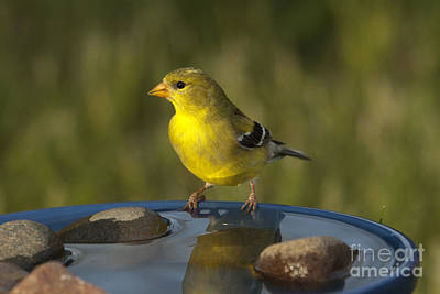 American Goldfinch Print by Linda Freshwaters Arndt