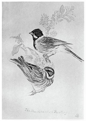 Bunting Drawing - Blackburn Birds, 1895 by Granger