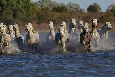 Grace Photograph - Camargue Horses Running Through Marshy by Adam Jones