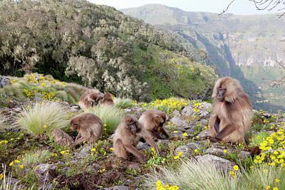 Monkey Photograph - Gelada, Gelada Baboon (theropithecus by Martin Zwick