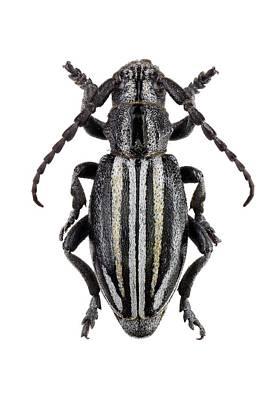 Longhorn Photograph - Longhorn Beetle by F. Martinez Clavel