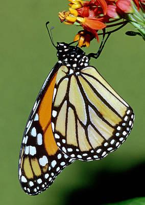 Photograph - Monarch Butterfly by Millard H. Sharp