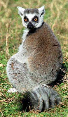 Photograph - Ring-tailed Lemur Lemur Catta by Millard H. Sharp