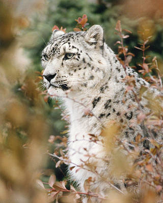 Photograph - 2321 White Snow Leopard In Brush by Chris Maher