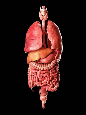 Internal Organs Photograph - Human Internal Organs by Sciepro