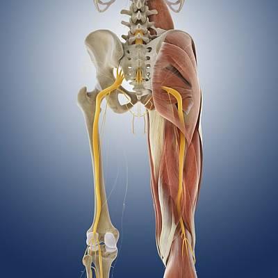 Lower Body Anatomy, Artwork Art Print by Science Photo Library