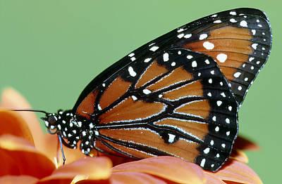 Photograph - Queen Butterfly by Millard H. Sharp