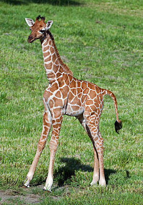 Photograph - Reticulated Giraffe by Millard H. Sharp