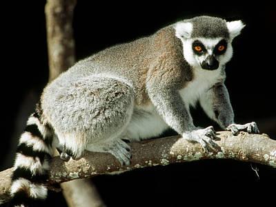 Photograph - Ring Tailed Lemur by Millard H. Sharp