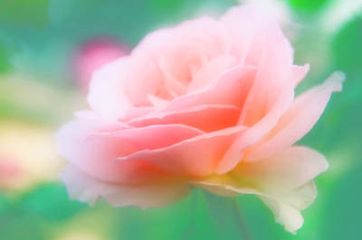 Rose (rosa Sp.) Art Print by Maria Mosolova/science Photo Library