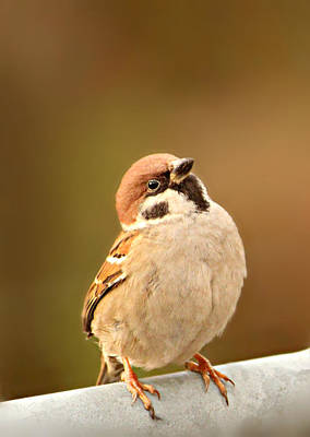 Sparrow Art Print by Heike Hultsch