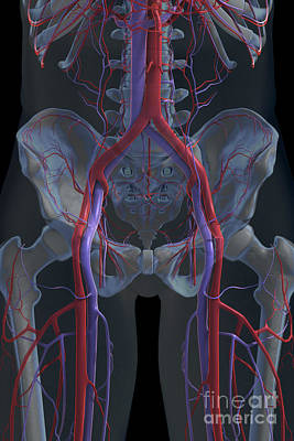 The Cardiovascular System Art Print by Science Picture Co