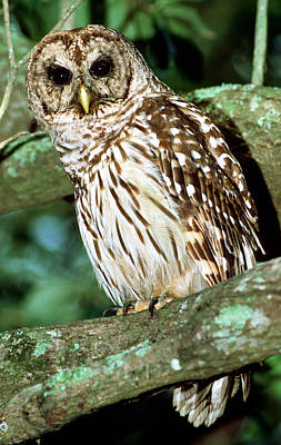 Photograph - Barred Owl by Millard H. Sharp