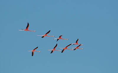Watercolor Butterflies - Flamingos by Carol Ailles