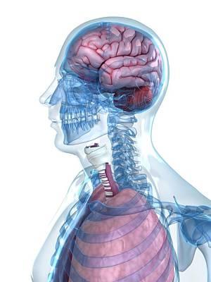 Head Anatomy Art Print by Sciepro/science Photo Library