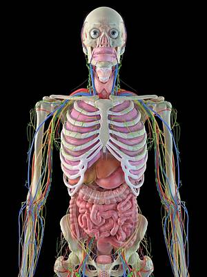 Human Internal Organ Photograph - Human Internal Organs by Sciepro