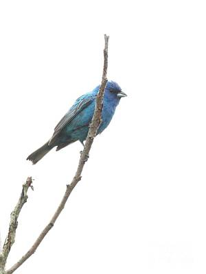 Photograph - Indigo Bunting by Jack R Brock