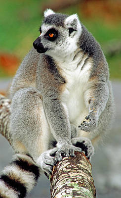 Photograph - Ring Tailed Lemur by Millard H. Sharp