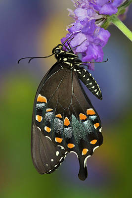 Blue Swallowtail Photograph - Spicebush Swallowtail Butterfly by Darrell Gulin