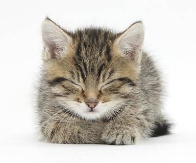 House Pet Photograph - Tabby Kitten by Mark Taylor