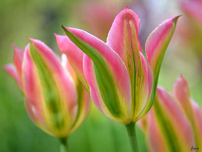 Photograph - 2.5 Tulip by JoAnn Lense