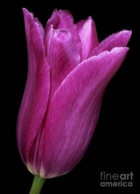 Spring Bulbs Photograph - Tulip Tulipa Gesneriana by Dr. Nick Kurzenko