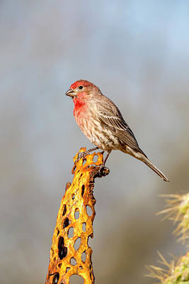 House Finch Photograph - Usa, Arizona, Amado by Jaynes Gallery