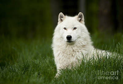 Science Collection Rights Managed Images - Arctic Wolf Royalty-Free Image by Wolves Only