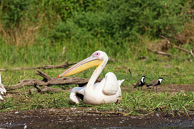 Great White Pelican (pelecanus Art Print by Martin Zwick