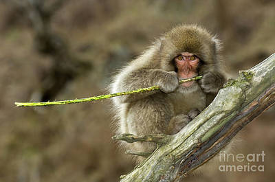 Photograph - Japanese Macaque by John Shaw