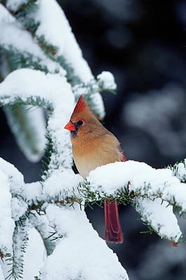 Female Northern Cardinal Photograph - Northern Cardinal (cardinalis Cardinalis by Richard and Susan Day