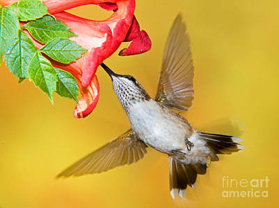 Photograph - Ruby Throated Hummingbird by Millard H Sharp