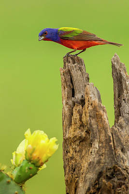Painted Bunting Photograph - Usa, Texas, Hidalgo County by Jaynes Gallery