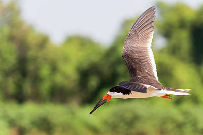 Black Skimmers Photograph - Brazil, Mato Grosso, The Pantanal by Ellen Goff