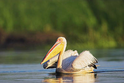 White Pelicans Photograph - Great White Pelican (pelecanus by Martin Zwick