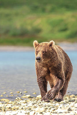 Grizzly Bear Photograph - Grizzly Bears Also Called Brown Bears by Tom Norring