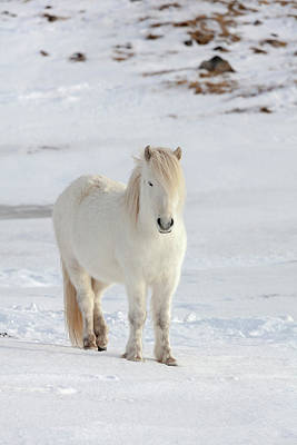 Icelandic Horse Photograph - Icelandic Horse With Typical Winter Coat by Martin Zwick
